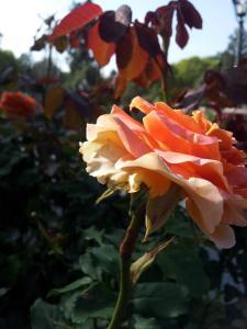 Disneyland Rose